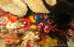 Bunter Fangschreckenkrebs