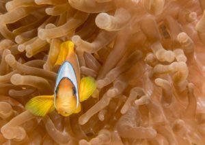 Ein Anemonenfisch vor einer etwa gleich hellen Anemone, kann mit der Mehrfeldmessung fotografiert werden.