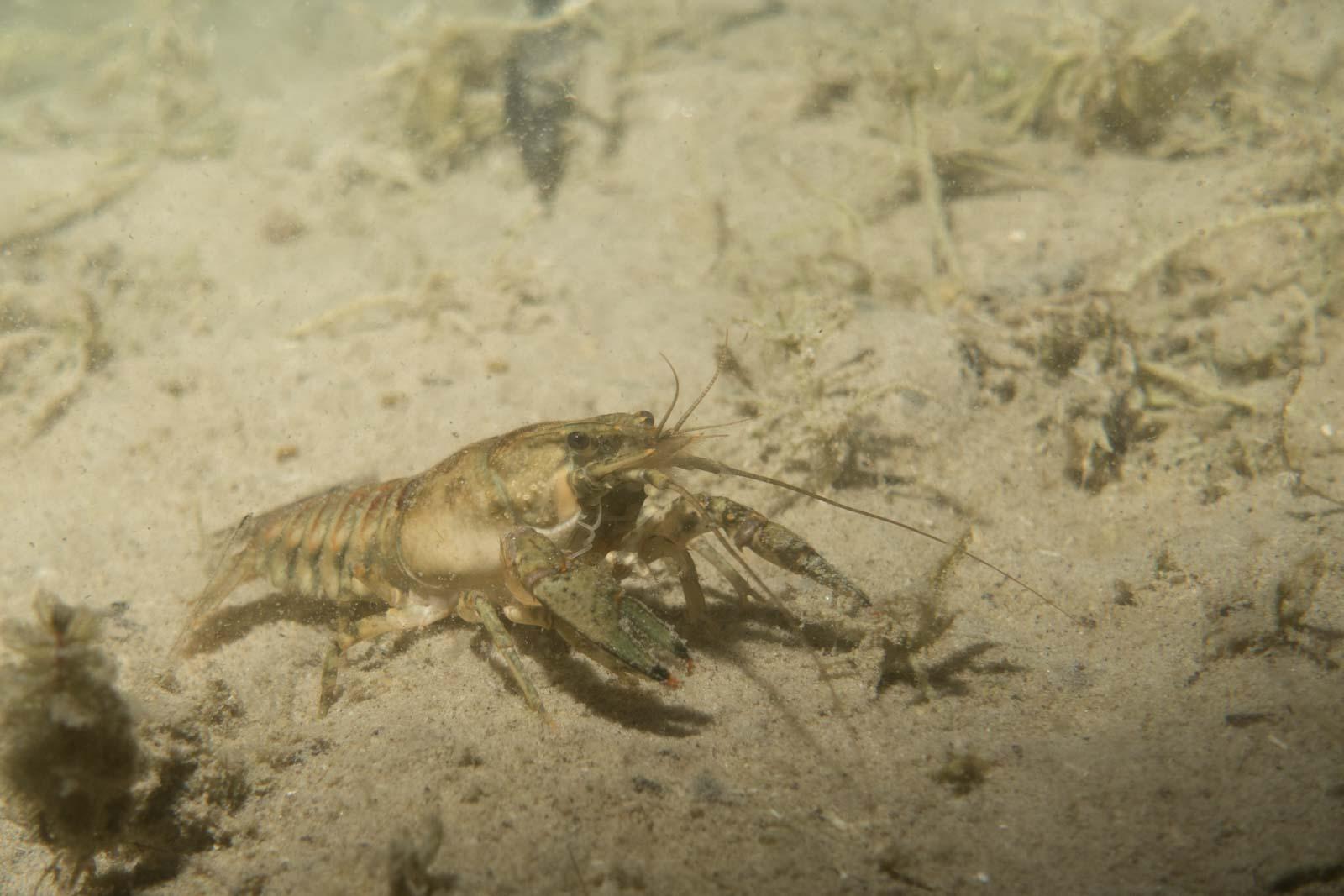 Bildbearbeitung Unterwasserfotografie Tauchen - Süßwasser Kamberkrebs Vorher-Nachher