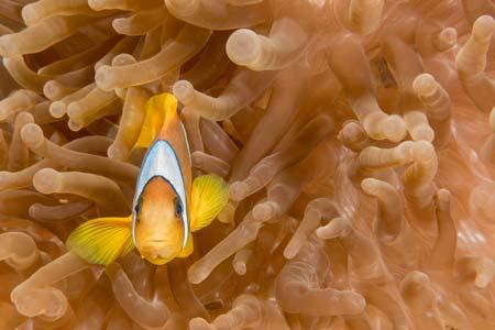 Anemonenfisch nemo Tauchen Ägypten Bildbearbeitung