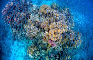 Fischschwarm blauer Rifffische über den Korallen Foto Emily Irving Swift