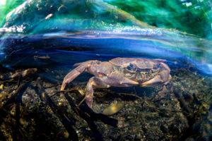 Krabbe im Fluss Langzeitbelichtung mit Blitz in Ligurien, Italien