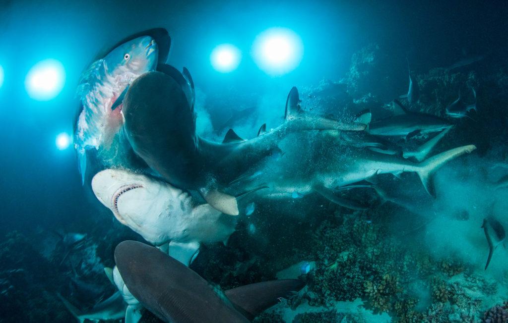 Richard Barnden wird Unterwasserfotograf des Jahres mit seinem Bild der Haie, die einen Papageifisch reißen und fressen