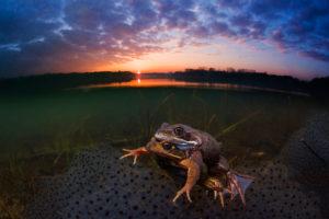 Frösche bei der Paarung im Sonnenuntergang in einem Süßwasser-See in Belgien