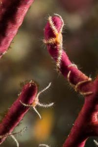 Junge Seesterne an einerroten Hornkoralle